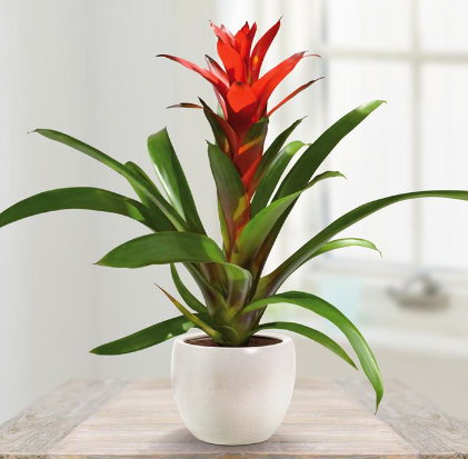 """bromeliad house plant"""