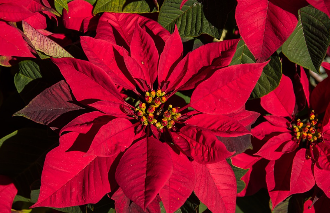 SOUTH FLORIDA POINSETTIAS IN THE RED AFTER WILMA RUINS HOLIDAY CROP