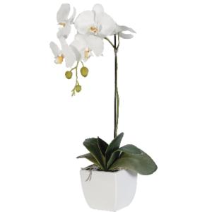 """""""white phaleonopsis orchid plant"""""""