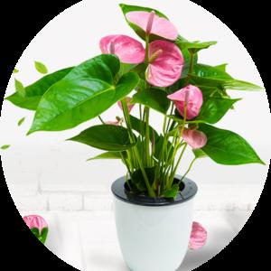 """pink anthurium plant"""