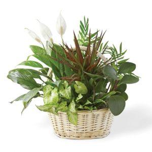 """Big Basket Garden of Greens"""