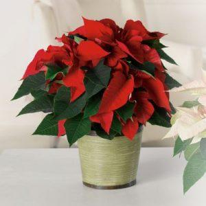 """""""Christmas Poinsettia"""""""