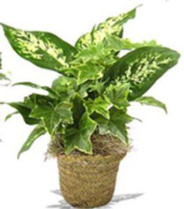 """Green Plant - Deifenbachia and ivy'"