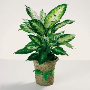 """""""dieffenbachia plant"""""""